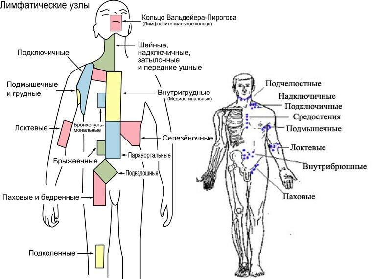 фото лимфоузлы на теле человека
